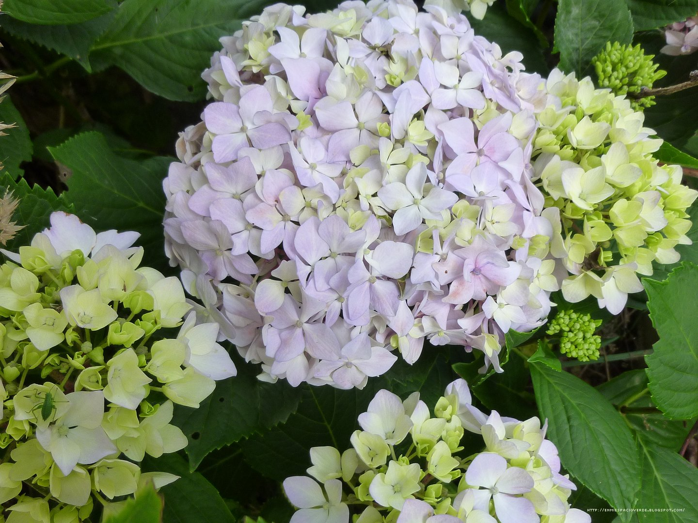 mi espacio verde hortensia hydrangea macrophylla. Black Bedroom Furniture Sets. Home Design Ideas