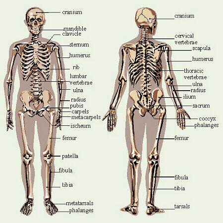 skeleton diagram evident