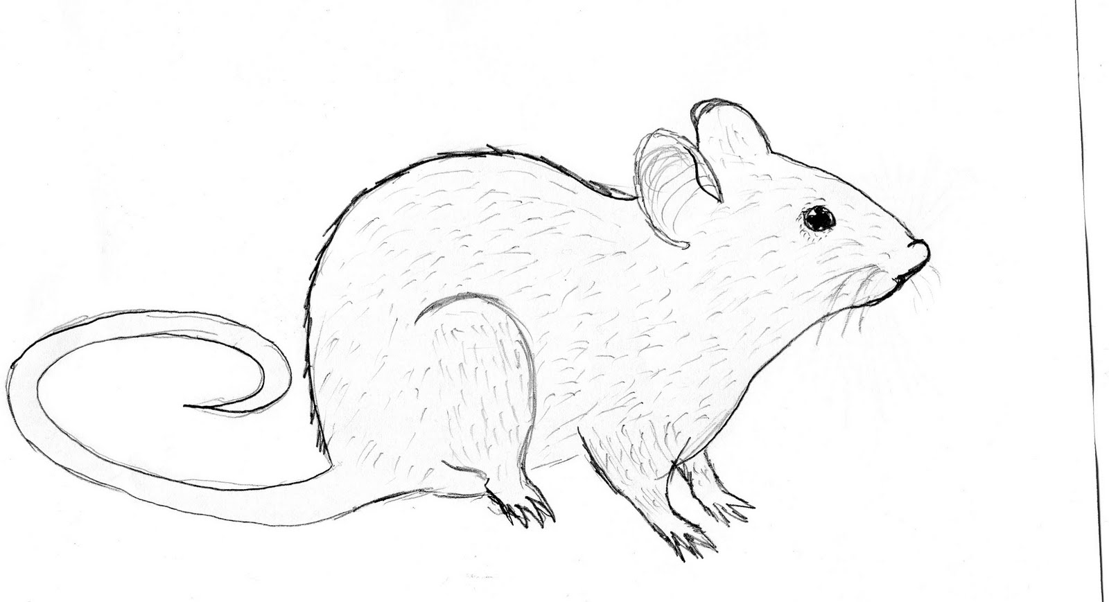 Line Drawing Rat : Sustainability october