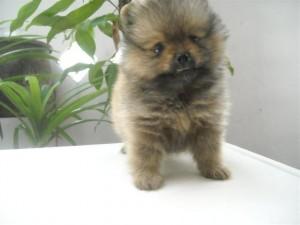 Anjing Pomeranian : Ciri Fisik, Perawatan & Harga Terbaru