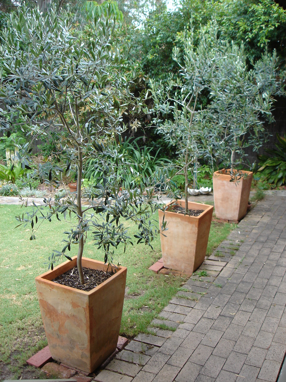 The olive garden olive trees as ornamentals for Decoration jardin olivier