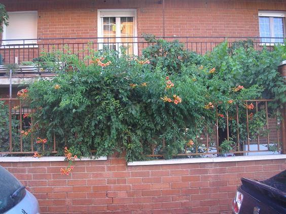 El jardin de pepa enredaderas y trepadoras - Plantas enredaderas de crecimiento rapido ...