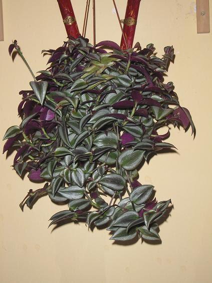 El jardin de pepa plantas de interior y cactus - Plantas de interior cintas ...