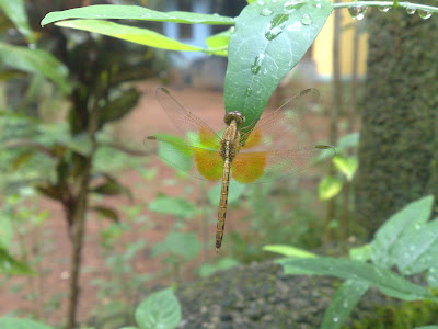 Crimson Marsh Glider – Female Dragonfly - Trithemis aurora