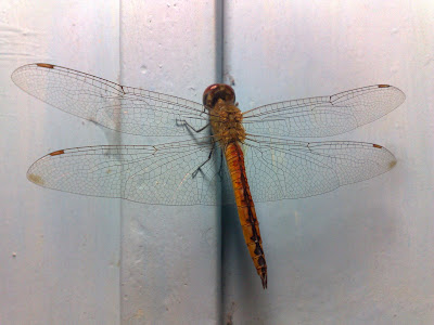 Wandering Glider – Male Dragonfly (Pantala flavescens)