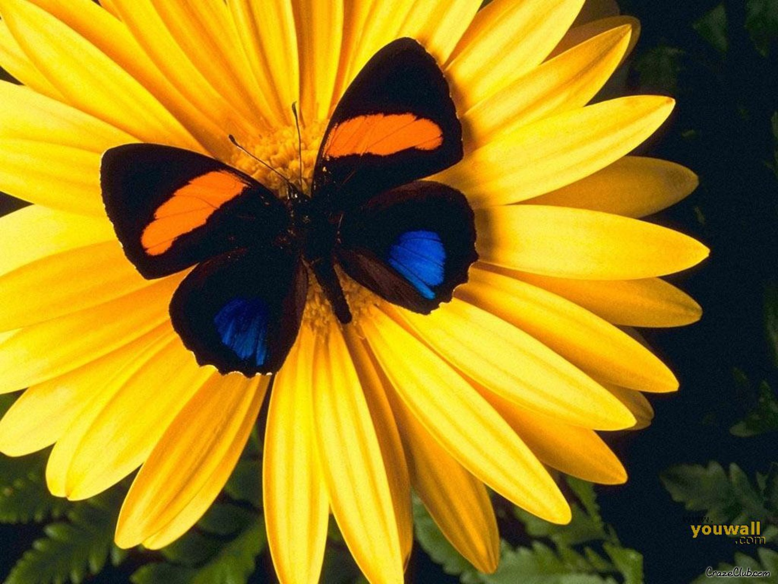 June 2012 butterfly background wallpapers for Butterfly on flowers