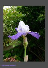 L'Iris majestueux