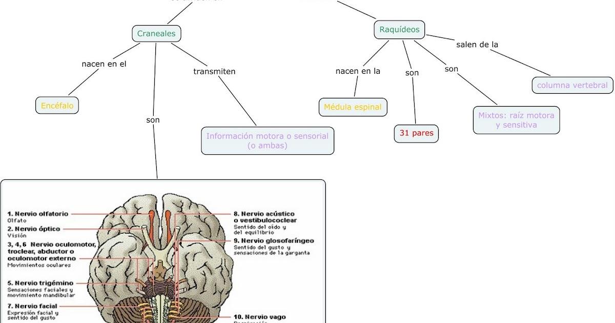 sistema nervioso: Mapa Conceptual: nervios craneales y raquídeos