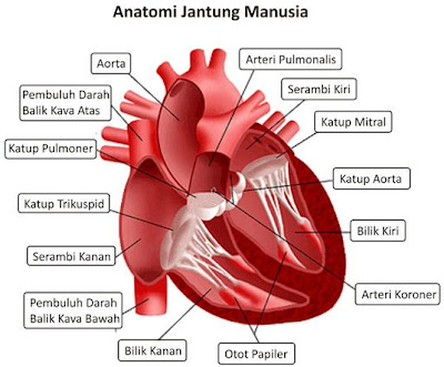 Anatomi+Jantung Gagal Jantung