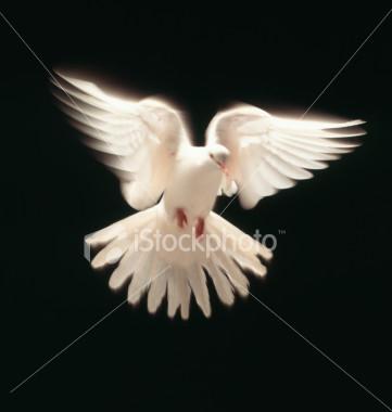 kabar burung merpati lambang cinta namun buntung simpat
