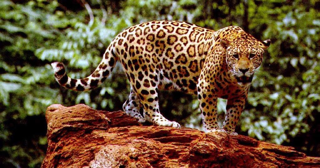 ANIMALES Y VEGETALES DE PERU: Jaguar - Panthera onca