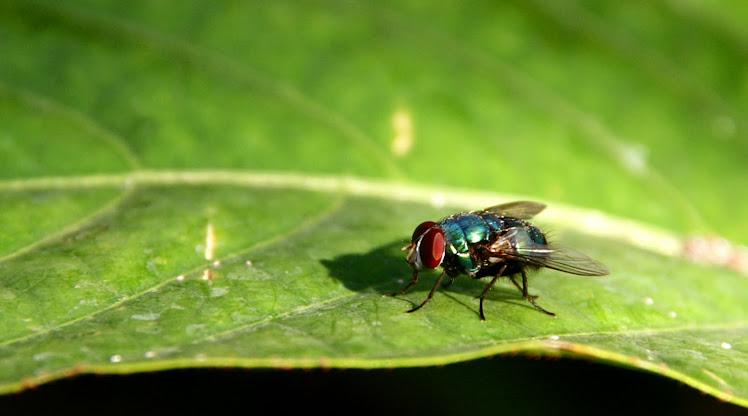 Lalat dan Kehidupan. 2009