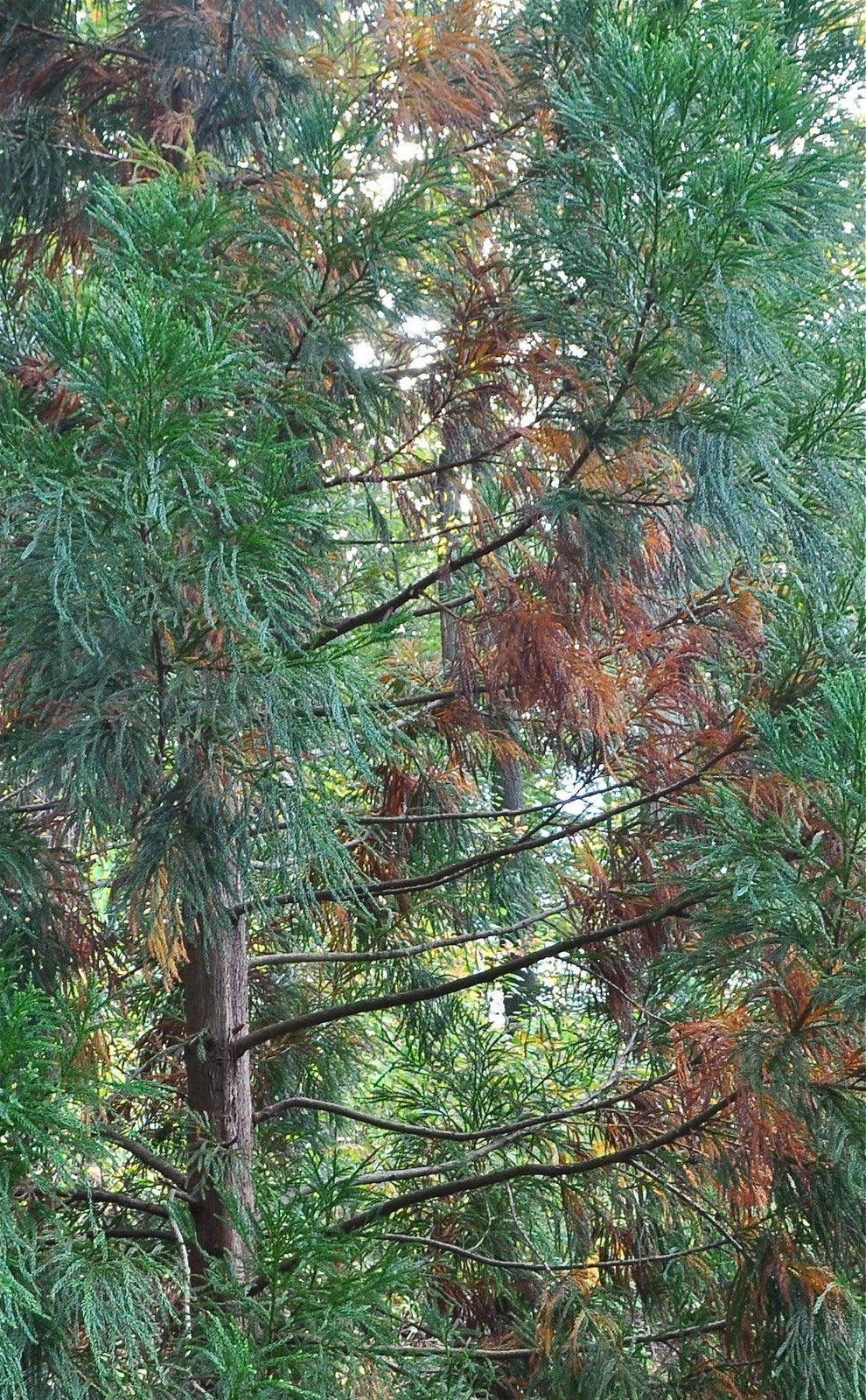 Cryptomeria Turning Brown