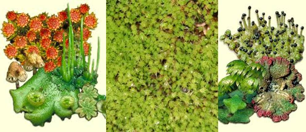 an introduction to the sphagnum peat moss Botanical, folk-lore and herbal information - moss, sphagnum.