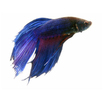 Smiling sally blue monday blue betta for Betta fish names male blue