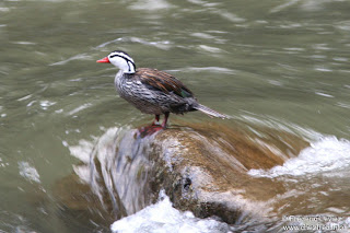 Pato de torrente Merganetta armata