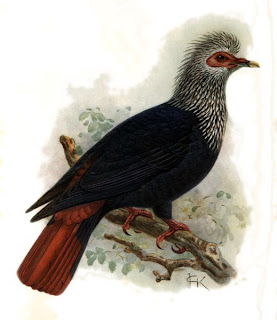 paloma azul de Mauricio Alectroenas nitidissima extinction birds