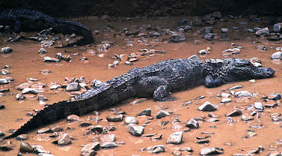 alligator de china Alligator sinensis