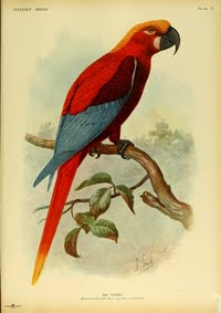 Ara de Jamaica aves extintas de Jamaica Ara gossei