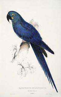 guacamayo cobalto Anodorhynchus leari aves de Brasil en extincion