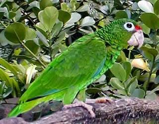 amazona portorriqueña Amazona vittata