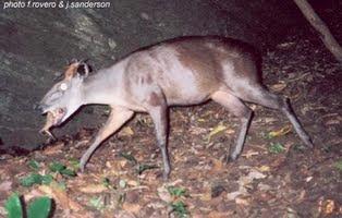 mamíferos de Tanzania en peligro de extincion Duiker de Abbot Cephalophus spadix