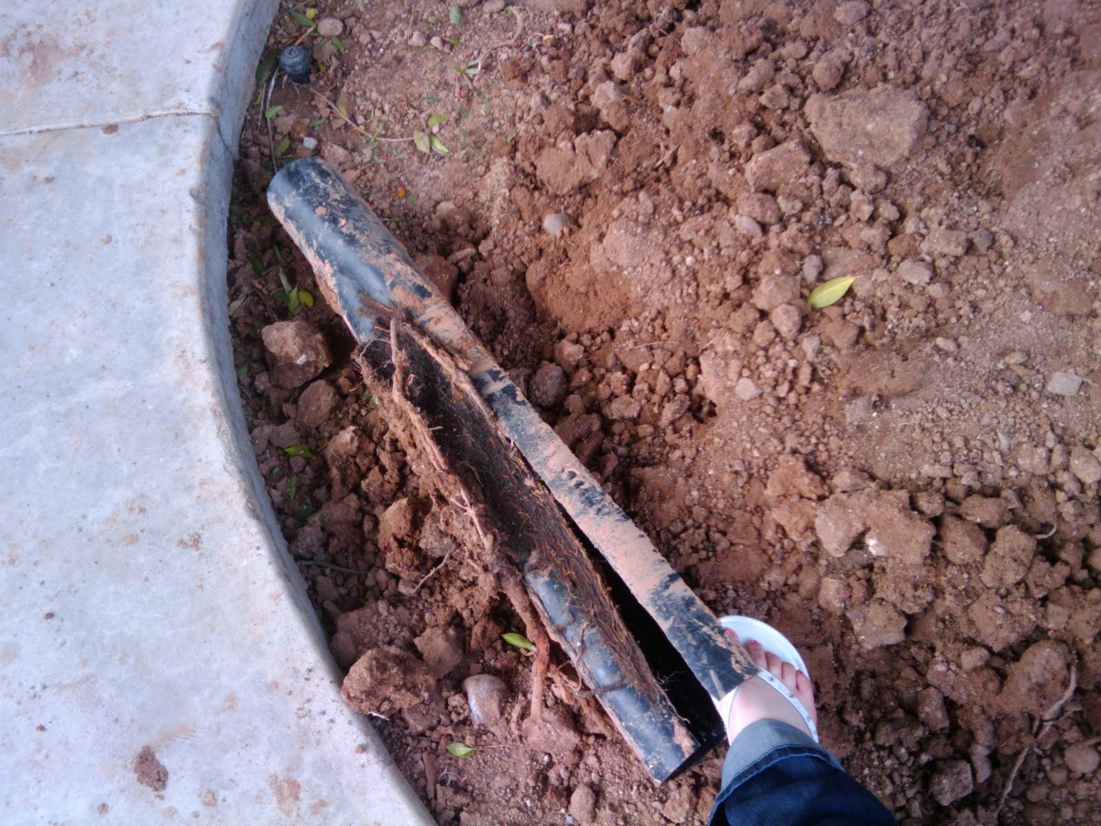 how to kill tree roots in toilet drain