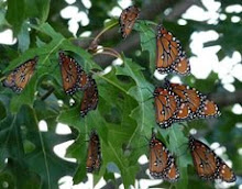 Flutter of Queen Butterflies