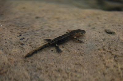 Salamandre sous le FreeStone