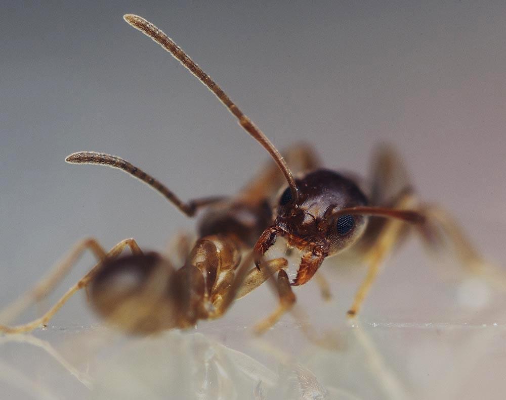 Argentine ants bite - photo#23