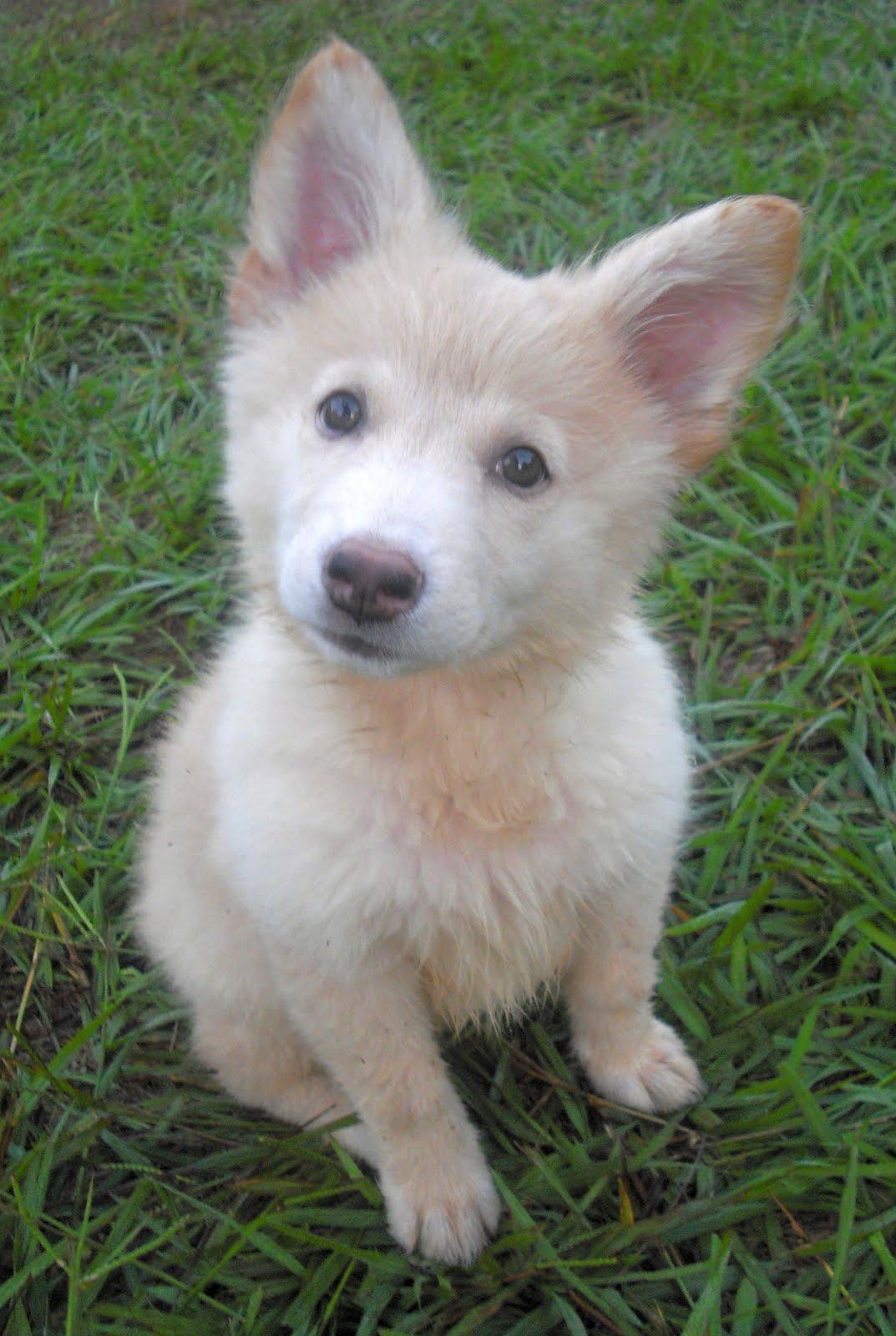 White German Shepherd Puppies for Sale