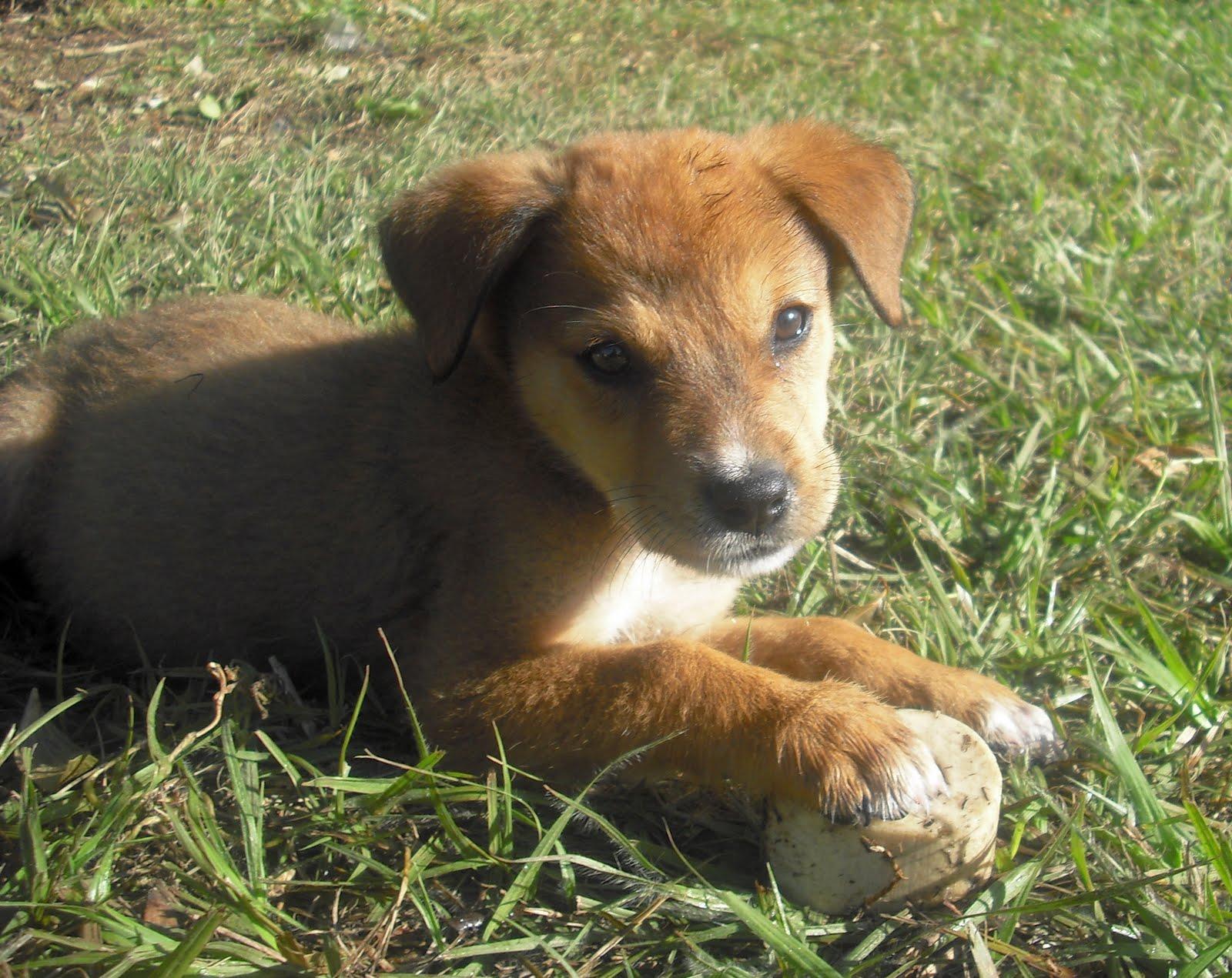 Half Pitbull Half German Shepherd Puppies | Dog Breeds Picture