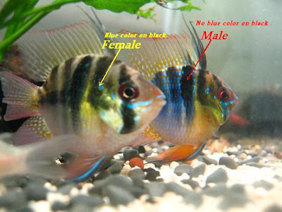How Much Ram Do I Need >> My Hobbies.: A pair of German Blue Ram.
