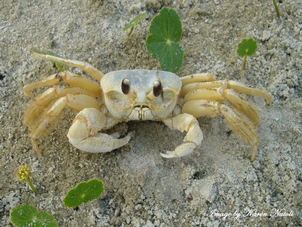 Ghost Crabs At Night Ghost crabs, also known as