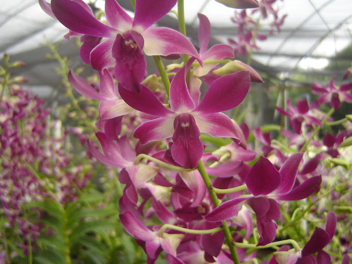 Dendrobium Purple hybrid
