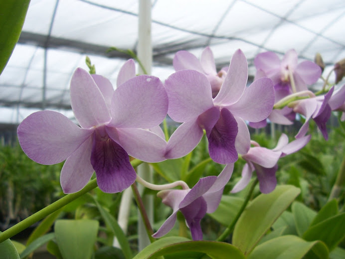 Dendrobium Tropic House Blue