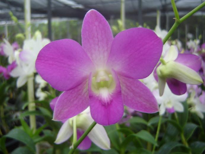 Dendrobium Neolyte