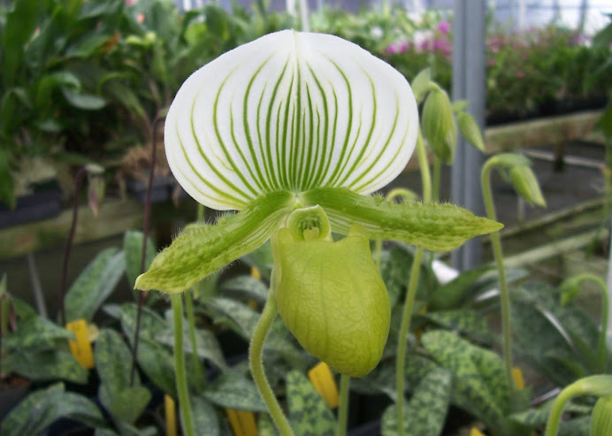 Paph. Maudiae hybrid