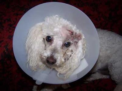 Thursday  April 26  2007Black Skin Papillomas Dog