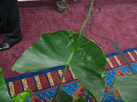 Sting Ray Alocasia