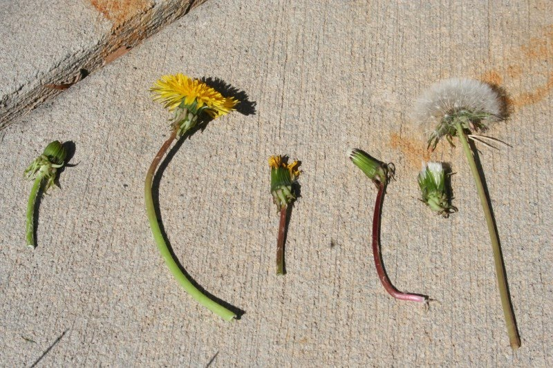 a study on dandelions A study found that dandelion root extract could kill melanoma cells without destroying non-cancerous cells another study showed that it had this similar effect on pancreatic cancer cells dandelion greens also contain antioxidants such as vitamins a and c, which can help fight cancer.