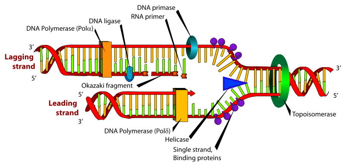 replication dna structure and diagrams of dna replication : dna replication diagram - findchart.co