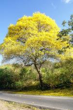 Ipê Amarelo - Macaíba - RN - Brasil