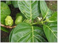 Растение Нони