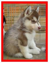 Verkoiansk's Fergus King Wolf  Blaser- Filhote