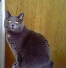My Russian Blue: Bear