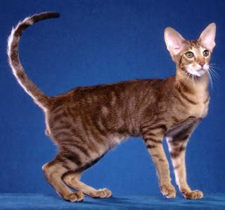 Razze Feline: una più bella dell'altra Orientale1%5B1%5D