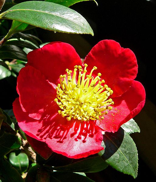 Oak ridge shrubbery landscaping inc for Camelia sasanqua