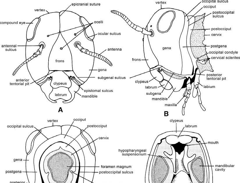 Entomology For Students: Insect Head
