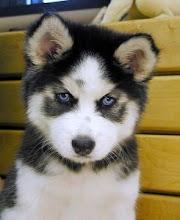 Vous avez envie d'un superbe chien? Cliquez ici!